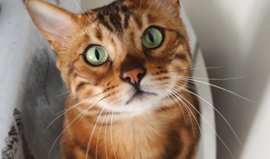 Thor The Bengal Cat Becomes Internet Celebrity For The Cutest Reason