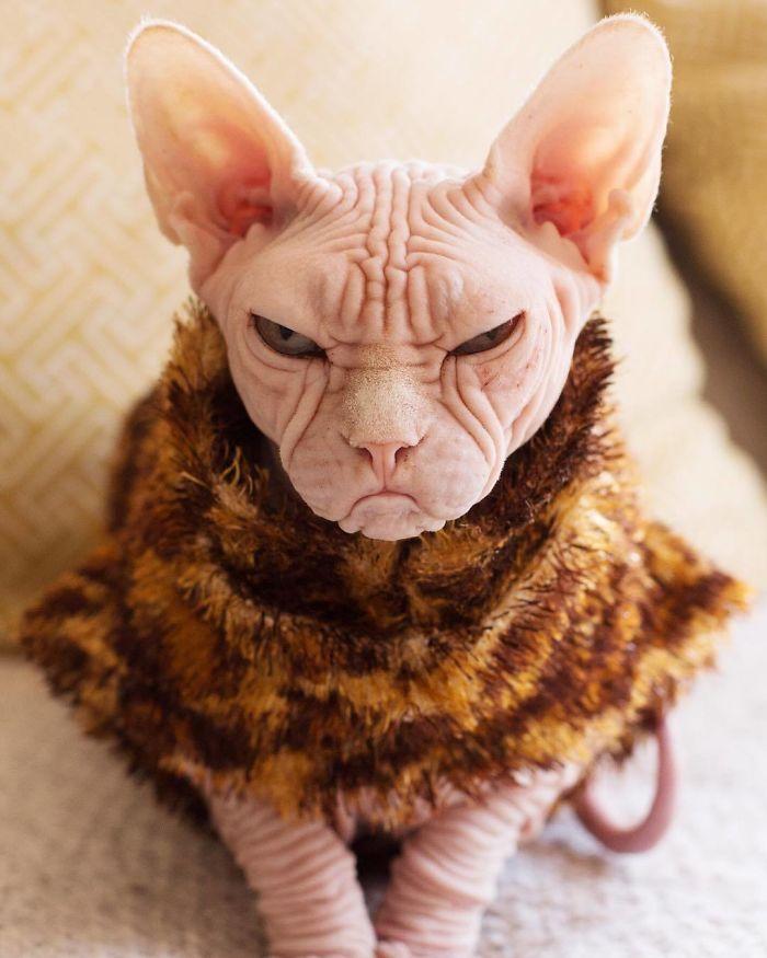Meet Kitzia: The New Grumpy Cat That Looks Even Angrier